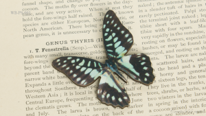 WB-PS-001 ミカドアゲハ♂ 蝶のウッドブローチ