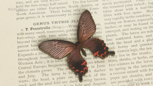 WB-PS-002 クロアゲハ ♀ 蝶のウッドブローチ