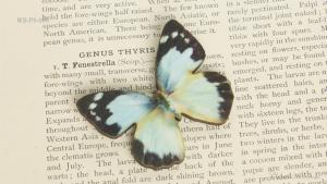 WB-PS-008 ナミエシロチョウ♀ 蝶のウッドブローチ