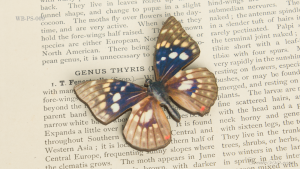 WB-PS-009オオムラサキ♂ 蝶のウッドブローチ