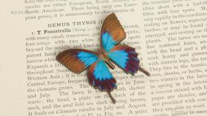 WB-PS-013 オオルリアゲハ 蝶のウッドブローチ