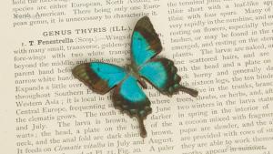 WB-PS-015 ヘリボシルリアゲハ 蝶のウッドブローチ