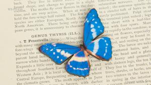 WB-PS-016 キプリスモルフォ 蝶のウッドブローチ